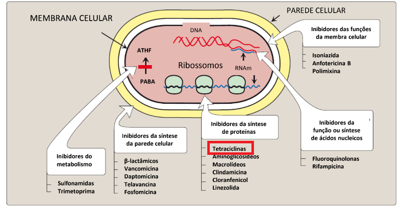 Classificação de alguns antibacterianos pelo local de ação.  Fonte: Farmacologia Ilustrada, 2016.