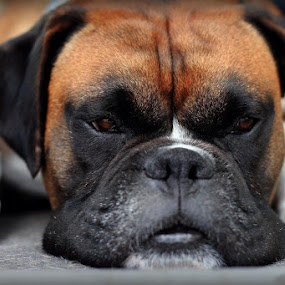 Trying to sleep by Annie Japaud - Animals - Dogs Portraits ( boxer, dog, portrait )