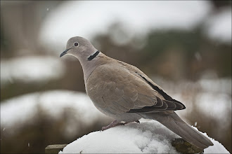 Photo: Collared Dove Streptopelia decaocto A relative newcomer to Scotland arriving here in 1957, having had a remarkably quick progression from the Middle East and South East Europe. This was a natural increase is the birds range so is not viewed as an alien species, just a new one. They feed predominantly on grain, berries and seeds, but they have been known eat the occasional caterpillar and aphid. This is a bird that likes to be around human activity, but does not like city centres preferring to be in areas where there is active gardening and farming, however it tends to stay clear of moorland and mountains too.