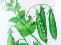 CHOOSE: Pods that are cold, green, and not to fat (large peas are old and...
