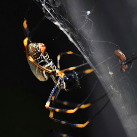 Spider macro by Amanda Daly - Novices Only Wildlife ( spider macro,  )