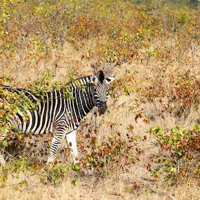 Hello by Angie Birmingham - Animals Other Mammals ( national park, south africa, wildlife, kruger, zebra, africa,  )