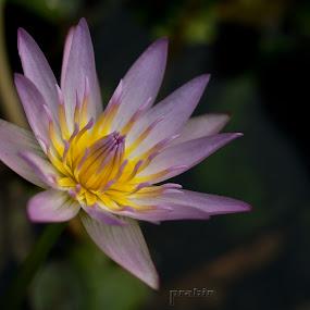 Water Lily by Prabir Adhikary - Flowers Single Flower ( lily, flowers growing in water, flowers of india, flowers, water lily, flowers photo, indian flowers,  )