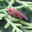 Heleomyzidae