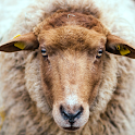 Netherland Sheep LWP icon
