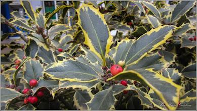Photo: Laur (Ilex aquifolium variegata) - de pe Calea Victoriei, spatiu verde, Mr.2 - 2016.11.16