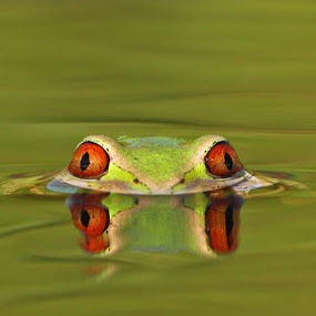 Tree Frog by David Knox-Whitehead - Animals Amphibians ( water, macro, red eyes, green, frogs, amphibians,  )
