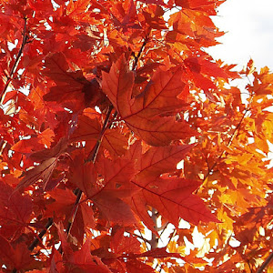Orange leaves 012.jpg