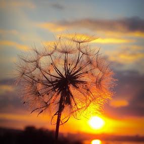 Light by Svetlana Micic - Nature Up Close Other plants ( dandelion, nature up close, goat beard, light, sun )