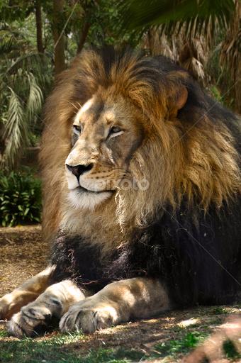 Aslan | Lions, Tigers & Big Cats | Animals | Pixoto