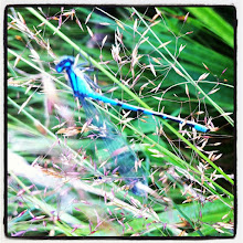 Photo: Dragonfly in the grass at Pitt Lake #intercer #fly #dragonfly #insect #nature #instanature #lake #green #blue #wings #beautiful #pretty #color #outdoor #outdoors #plant #plants #black - via Instagram, http://instagr.am/p/NzTJsHpfs7/