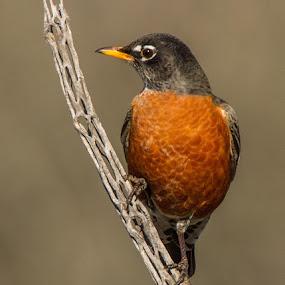 Robin on Cholla by Sandy Hurwitz - Animals Birds