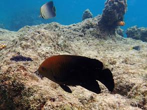 Photo: Unidentified Damselfish, Miniloc Island Resort reef, Palawan, Philippines.