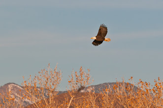 Photo: Bald eagle; Bosque del Apache