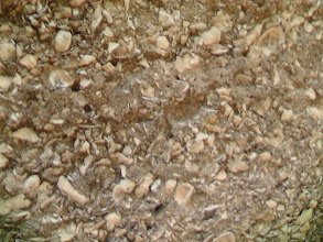 Photo: Tabby closeup - basically cemented shell -  amounts to 'cement/concrete'  construction material.