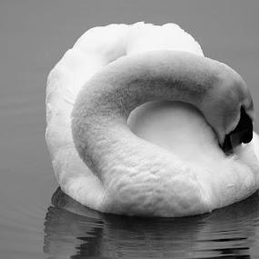 Swan Lake by Scott Williams-Collier - Animals Birds
