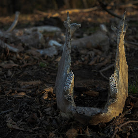 Jaw by Kyle Blakeburn - Animals Other ( jaw, nature, bones, teeth, cow )