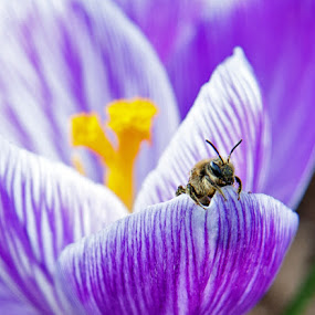 Crocus and Friend by Jeff Galbraith - Nature Up Close Flowers - 2011-2013 ( purple, bee, crocus, white, insect, spring, close-up, flower )