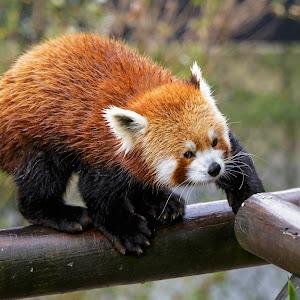 Panda-1-2.jpg