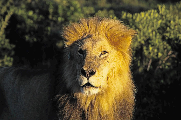 File photo of a lion.