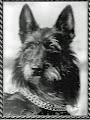 Photo: 1983 Roquépine des Mazellières (Nutz de la Grignauderie X Olivia des Mazellières ) Prod Mme Nebenhaus Prop: M Mme Schwartz Pedigree:  http://www.pawpeds.com/db/?p=bpi&a=p&id=413664&g=4