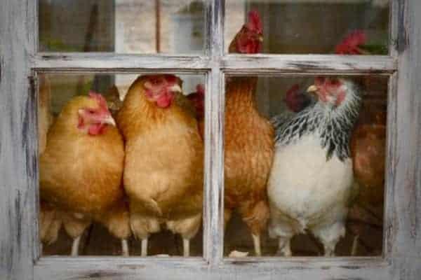 Hens in the Chicken Coop