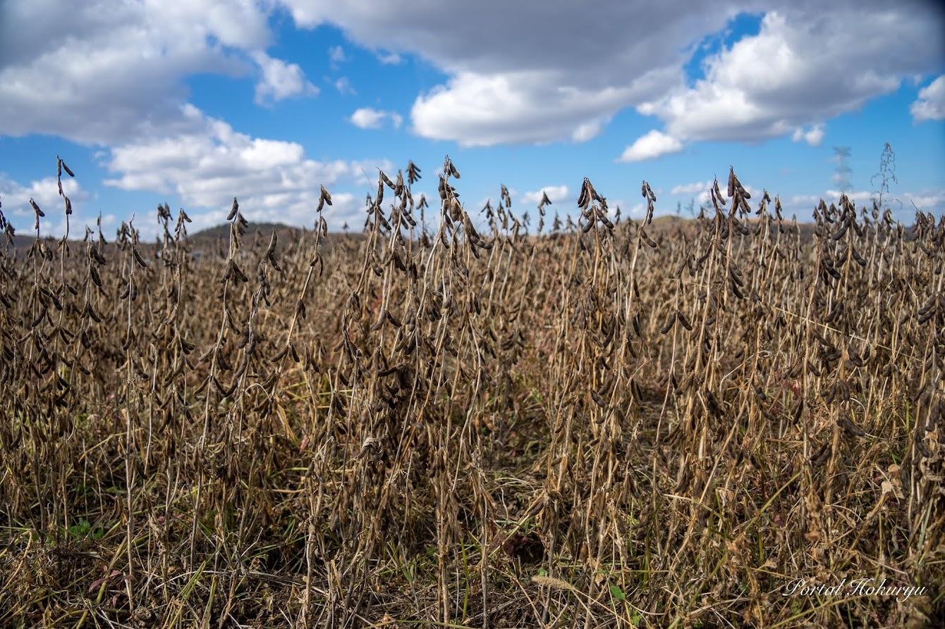 収穫期の黒千石大豆