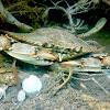 Cangrejo azul / Blue crab