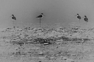 Photo: Black-necked Stilts (Schwarznacken-Stelzenläufer); Tequiquiapan, QRO