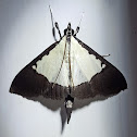 Brown-Bordered Triangle