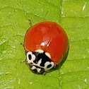 Western blood-red lady beetle