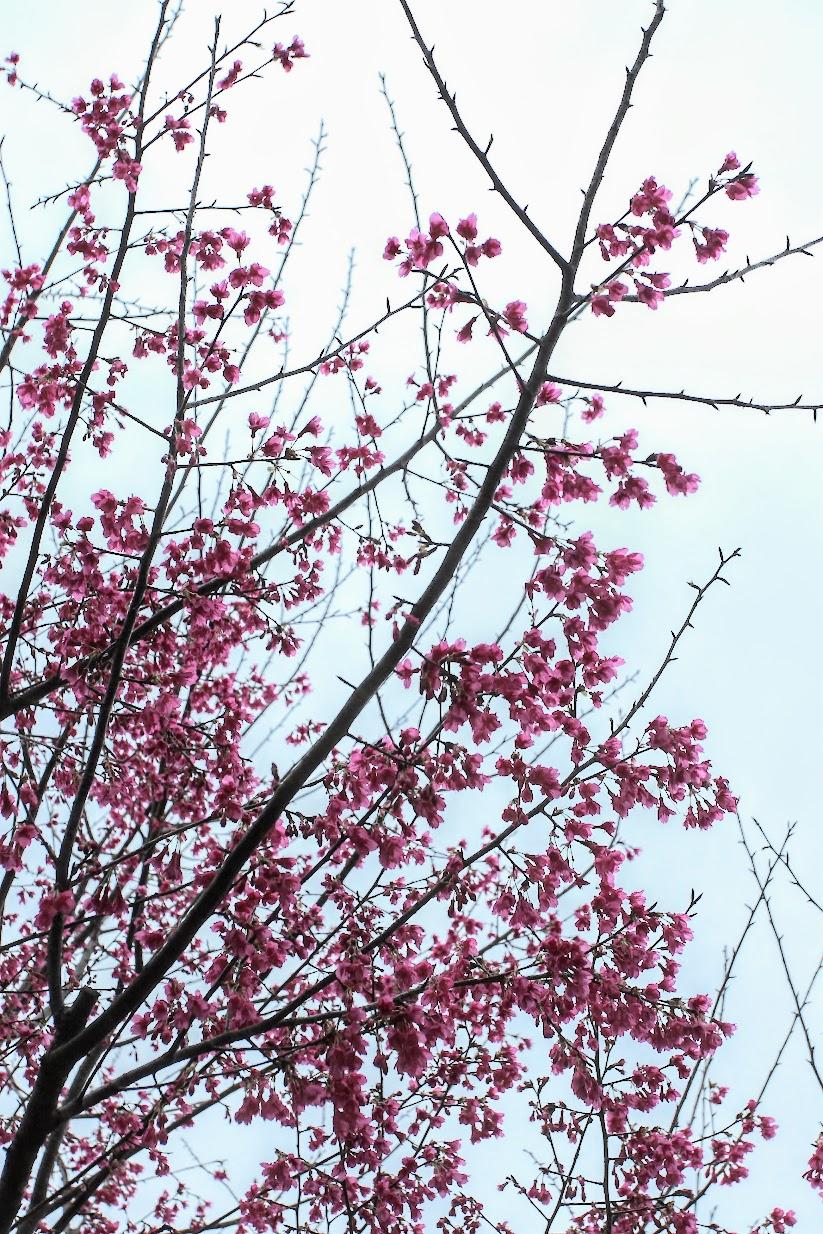 奧萬大國家森林遊樂區其中一景,在旅客服務中心往遊樂區走的路上有著一片櫻花樹,進入遊樂區後則是楓樹...這次這時間點來正好是櫻花季末期,櫻花並未如想像中跟全盛時期的漂亮,如果在早一二個月來應該會更好吧?! 另看楓葉的季節約為十一月,前提是冷度要夠 ...