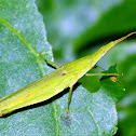 Slant faced or long nosed grasshopper