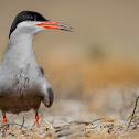 White-cheeked Tern.
