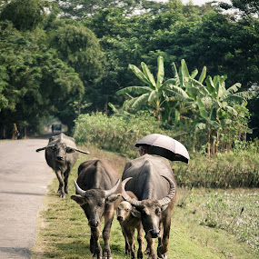 Homebound by Rahat Amin - Animals Other Mammals ( buffalo, nature, homebound, cattle, animal )