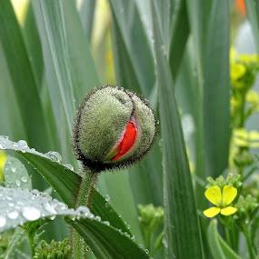 Mak by Radisa Miljkovic - Flowers Flower Buds