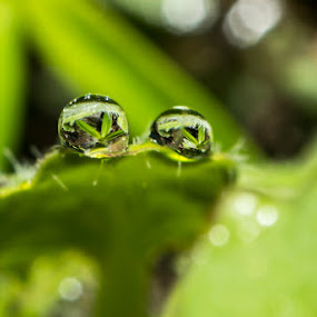 morning dew... by Rose Roses - Nature Up Close Water ( drops )