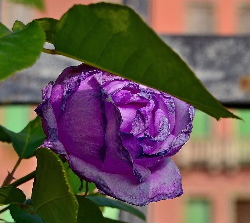 Rosa viola. Un gioco di parole. di vb63