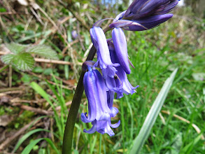 Photo: The Wrekin Yes its that time already: the first bluebells are out. Just those along the side of the footpath where they are in fullsun. Another week / 10 days I would judge. Note a small black beetle is already exploiting the flower – presumably for the nectar. (Ed Wilson)