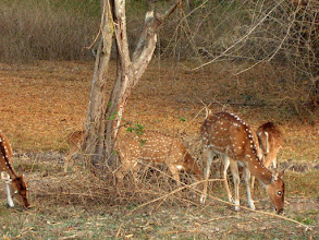 Photo: Chital deer in Bandipur Park South India