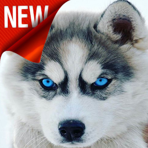 Siberian Husky Hd Wallpapers Free Android App Market