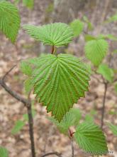 Photo: Arrowwood (Viburnum dentatum)