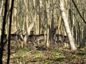 Photo: The Wrekin These 6 were part of a different group of Fallow Deer. (Ed Wilson)
