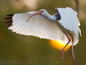 Photo: White Ibis