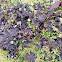 Dog lichen
