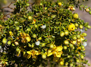 Photo: Creosote bush is an evergreen shrub growing to 3 to 10 ft tall. The stems of the plant bear resinous, dark green leaves with two opposite lanceolate leaflets joined at the base, with a deciduous awn between them, each leaflet 0.3 to 0.7 in. long and 0.2 to 0.3 in. wide. The flowers are up to 1 inch in diameter, with five yellow petals. Galls may form by the activity of the creosote gall midge. The whole plant exhibits a characteristic odor of creosote, from which its name derives.
