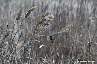 Photo: A stone chat in the reeds