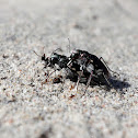 LeConte's Tiger Beetles