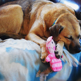 Maggie with her toy by Lori Nason - Animals - Dogs Portraits ( sleeping dog, dog with toy, dog content, animal, dog )