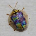Geiger Tree Tortoise Beetle